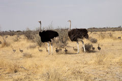 Couple African ostrich with chicks, Etosha National Park, Namibia Stock Image