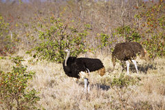 Couple of African Ostrichs standing in savannah in Kruger National park Royalty Free Stock Images