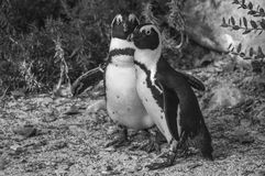 A couple of african penguins. Two african penguins on a beach royalty free stock photo