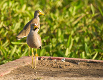 A couple of the African Wattled Lapwing Royalty Free Stock Photography