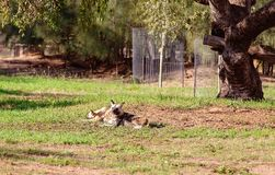 A Couple Of African Wild Dogs. A pair of African wild dogs lying around resting in the sun royalty free stock photos