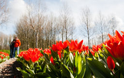 Couple against Hollandse Tulips. Unrecognisable pair hugs behind blooming tulips stock photography
