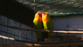 Couple of agapornis parrots in the cage. Couple of kissing agapornis parrots sitting on the twig in the cage stock footage