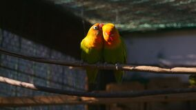 Couple of agapornis parrots in the cage. Couple of kissing agapornis parrots sitting on the twig in the cage stock video