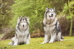 Couple of Alaskan Malamutes in a park. Alaskan Malamute dogs outdoors in nature Royalty Free Stock Photos