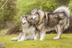 Couple of Alaskan Malamutes in a park. Alaskan Malamute dogs outdoors in nature Stock Image