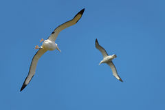 Couple of albatrosses Stock Photos