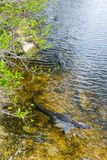 Couple of alligators in Everglades National park in Florida. USA royalty free stock photography