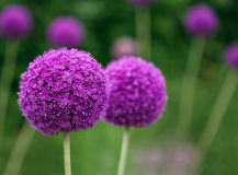 Couple of the allium purple flowers growing in the garden Royalty Free Stock Images
