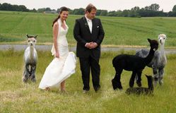 Couple with alpacas stock photos