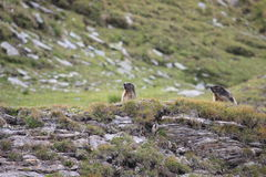 Couple of alpine marmots. Couple of adult alpine marmots in Alps in Austria Royalty Free Stock Images