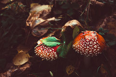 Couple of amanita mushrooms Royalty Free Stock Photo