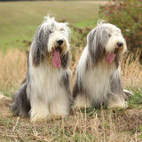 Couple of amazing bearded collies Royalty Free Stock Photos