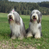 Couple of amazing bearded collies. Sitting on the grass Stock Images