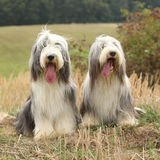 Couple of amazing bearded collies Royalty Free Stock Photography