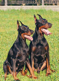 Couple of  amazing purebred dobermans Royalty Free Stock Image