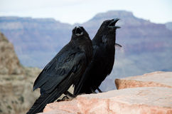 Couple of American Crows in Grand Canyon. Two American Crows with Grand Canyon on the background, photo taken in Grand Canyon National Park Stock Images