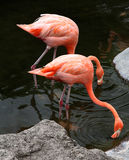 Couple of American flamingos eat in the lake. Royalty Free Stock Images