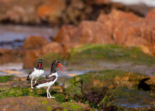 Couple of American Oystercatcher Stock Image