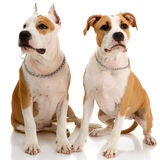 Couple of American Staffordshire terriers Stock Photography