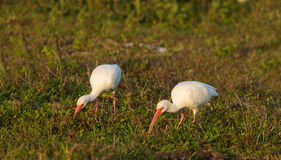 A couple of American White Ibis Stock Photo