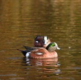 Couple of  American Wigeon Swimming Duck Royalty Free Stock Photography