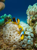 Couple of anemone fish Stock Image