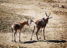Couple of antelope walking Stock Image