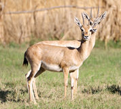 Couple antelopes Stock Photo
