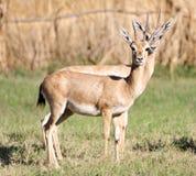 Couple antelopes Stock Photo