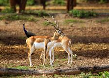 Couple antelopes Royalty Free Stock Photo