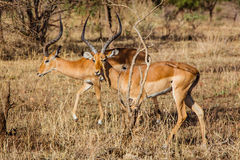 Couple of antelopes impala Royalty Free Stock Image