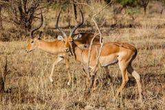 Couple of antelopes impala. Photo taken during the safari in Serengeti National park. Tanzania royalty free stock image