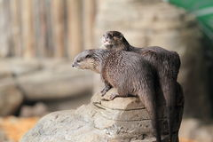 Couple of Asian small-clawed otters Royalty Free Stock Photography