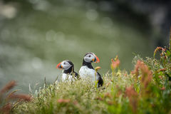 Couple of Atlantic puffins Fratercula arctica near Dyrholaey. In Iceland looking symmetrical in opposite directions Royalty Free Stock Images