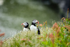Couple of Atlantic puffins Fratercula arctica near Dyrholaey. In Iceland looking symmetrical in opposite directions, one with mouth open Stock Images