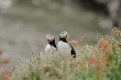 Couple of Atlantic puffins Fratercula arctica near Dyrholaey. In Iceland looking symmetrical in opposite directions, vintage effect with grain Royalty Free Stock Photos