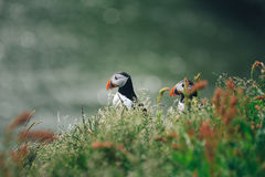 Couple of Atlantic puffins Fratercula arctica near Dyrholaey. In Iceland looking symmetrical in the same direction Royalty Free Stock Photos