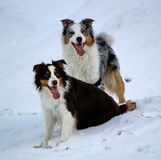 Couple of australian shepherd in the snow Stock Photo