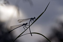 Couple of Azure Damselfly in morning time Royalty Free Stock Images