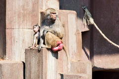 Couple of baboon monkey at Zoo close up. Couple of baboon monkey at Zoo: mother and baby royalty free stock image