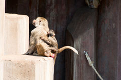 Couple of baboon monkey at Zoo. Mother and baby royalty free stock images
