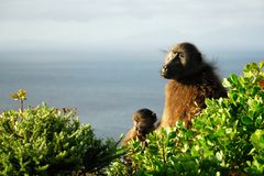 Couple of Baboons at Cape Peninsula, South Africa Stock Photography