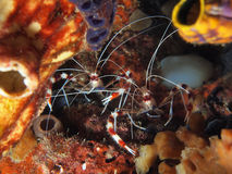 Couple of Banded Coral Shrimp Stock Image