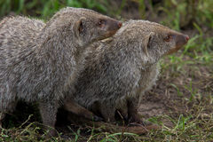 Couple of Banded Mongoose Stock Photos