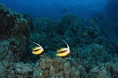 Couple of banner fish on the reef - Red Sea. This underwater picture was taken on the St John's reef off Egypt in the Red Sea Stock Images
