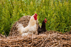 Couple of bantam. In garden royalty free stock image