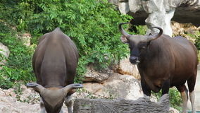 Couple Banteng or Red Bull, male standing and eat grass in the forest, closeup in HD stock video footage