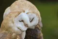 Couple of Barn Owls or Common Barn Owls. Cute couple of Barn Owls or Common Barn Owls Royalty Free Stock Photos