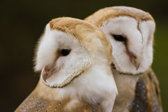 Couple of Barn Owls or Common Barn Owls. Cute couple of Barn Owls or Common Barn Owls grooming each other Royalty Free Stock Photo